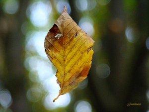 Si comincia raccogliendo le foglie... (photo: Luigi Alloni)