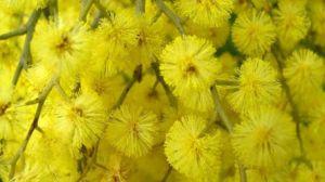 festa-della-donna-mimose-1