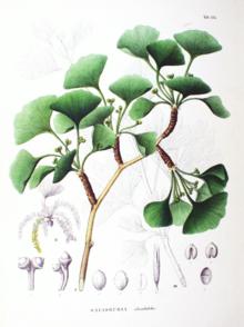Stampa con le foglie dell'albero-fossile del Ginkgo biloba